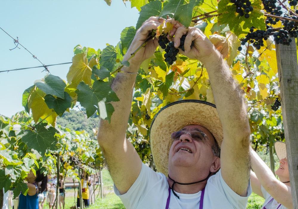 vinicola-cainelli-colheita